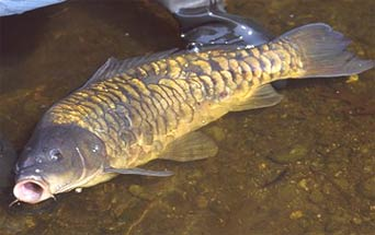 Common carp cyrinus carpio oars for Freshwater fishing in massachusetts