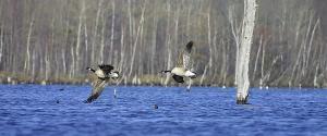 Geese along the Assabet